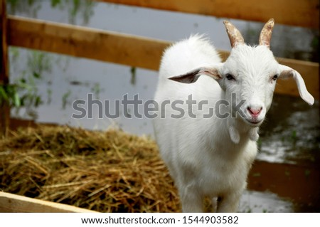 Domestic goat - domestic pet, a species of artiodactyls from the genus mountain goats family polorogih. #1544903582