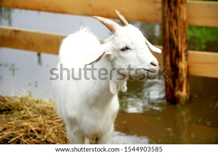 Domestic goat - domestic pet, a species of artiodactyls from the genus mountain goats family polorogih.