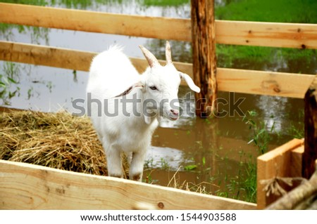 Domestic goat - domestic pet, a species of artiodactyls from the genus mountain goats family polorogih. #1544903588