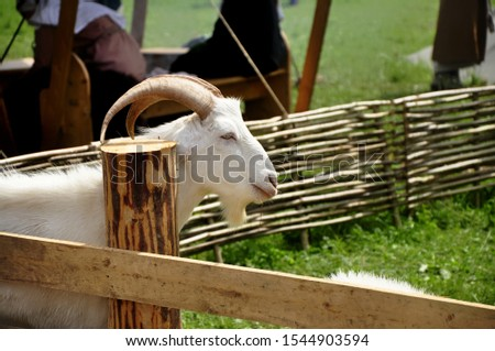 Domestic goat - domestic pet, a species of artiodactyls from the genus mountain goats family polorogih. #1544903594