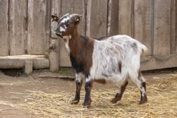 Domestic goat or simply goat. Brown and white goat standing on a farm near a wooden fence.(Capra aegagrus hircus).
