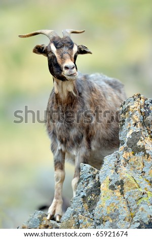 domestic goat outdoor