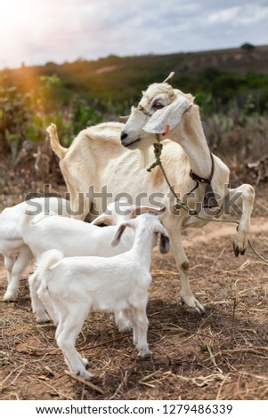 Domestic goat with her cubs on the farm - Picture