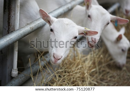 Domestic goats in the farm