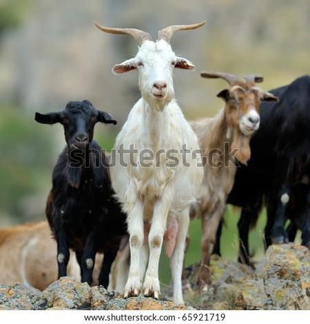 domestic goats outdoor