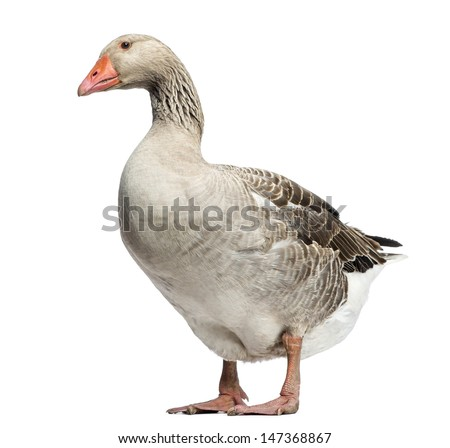 Domestic goose, Anser anser domesticus, standing and looking down, isolated on white