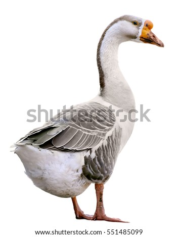 Domestic goose, Anser domesticus, isolated on white background
