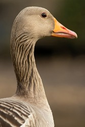 Domestic goose are domesticated grey geese (either greylag geese or swan geese) that are kept by humans as poultry for their meat, eggs and down feathers since ancient times.