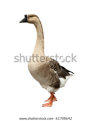 Domestic goose isolated on a white background