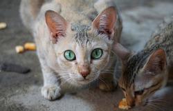 Domestic Indian cat portrait, green eyes closeup