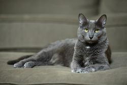 Domestic Korat cat laying on sofa