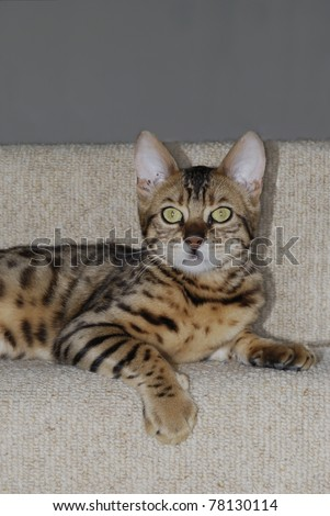 Domestic Leopard Cat. Bengal cat breed. Lying on carpeted step.