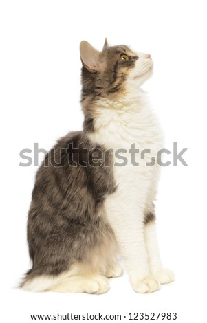 Domestic long haired cat, Felis catus, Isolated on White