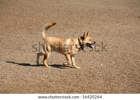 Domestic mixed breed male dog walking across earth covered in wood chips
