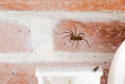 domestic or house spider, tegenaria domestica, inside the porch of a cottage, on her web between a wall and a chair