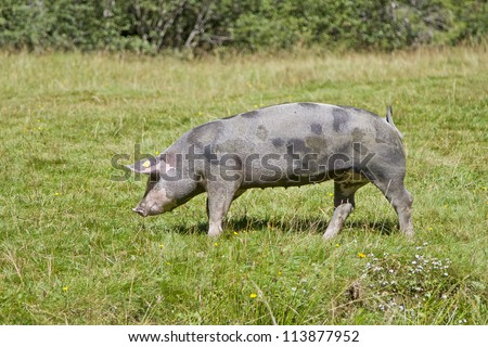Domestic pig enjoys freedoms in an alpine meadow in Tyrol