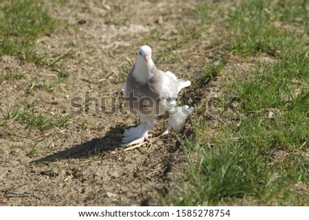 Domestic pigeon walking on the ground.