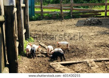 domestic piglets fun run in the barnyard in the village