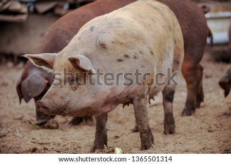 Domestic pigs of Hungarian breed Mangalitsa. Hybrid boars grazing outdoors in dirty farm field. pigs. Concept of growing organic food. Pig breeding. #1365501314