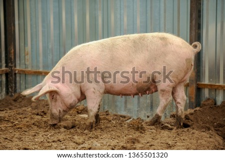 Domestic pigs of Hungarian breed Mangalitsa. Hybrid boars grazing outdoors in dirty farm field. pigs. Concept of growing organic food. Pig breeding. #1365501320