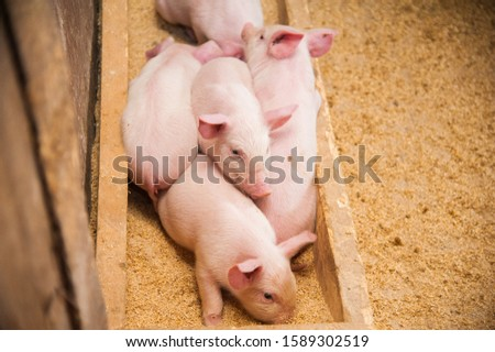 Domestic pigs. Pigs on a farm in the village