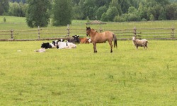 Domestic Rural mammals are grazed on the green field in summer day behind a wooden fence. Horse, cow, sheep, foal