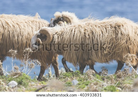 Domestic sheeep n mountains on Greek Mediterranean island Crete.  #403933831