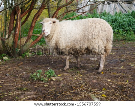 Domestic sheep. Agriculture. Graze in the meadow. sheeps wool.  #1556707559