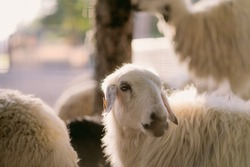 Domestic sheep are quadrupedal, ruminant mammal typically kept as livestock. Like most ruminants, sheep are members of the order Artiodactyla, the even-toed ungulates. Sheep grow wool continuously.