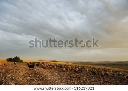 domestic sheep eating grass