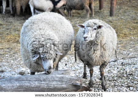 Domestic sheep - Ovis aries -  quadrupedal, ruminant mammals #1573028341