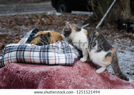 Domestic short-haired cats. Stray cats in Saint Petersburg survive winter outdoors. Community cats stray or feral cats, are well-suited to living outdoors usually in close proximity to humans. #1251521494