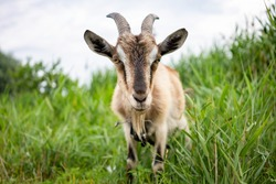Domestic smoke goat with horns walking in pasture, enjoying warm summer day. Closeup view of beautiful gray farm animal with collar on long leash in countryside eating grass. Farm animals concept.