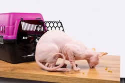 Domestic sphinx cat eats dry nutritious food in granules. Cat eating dry nutritious food in granules from a packaging bag sitting on wooden floor near plastic animals cage.