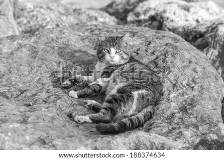 Domestic street cats lying relaxing on the rocks (black and white)