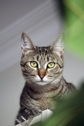 Domestic tabby cat at home