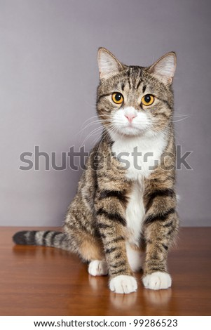 Domestic tabby, gray cat  on the table