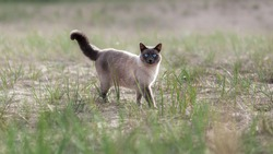 Domestic thai cat walking outside on sand beach among green grass at summer