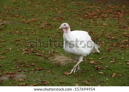 Domestic turkey, beaing reared  on a farm