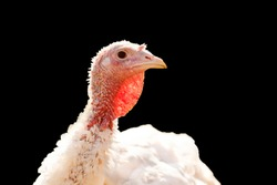 Domestic turkey close-up portrait isolated on black background. Funny female turkey face as symbol of Thanksgiving. Cute farm bird head with white feathers. Keeping husbandry and livestock conception