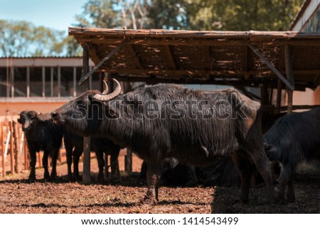 Domestic water buffalo (Bubalus bubalis) male at cattle farm #1414543499