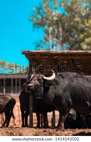 Domestic water buffalo (Bubalus bubalis) male at cattle farm #1414543502