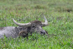 Domestic water Buffalo Resting In The Mud.The water buffalo, also called domestic water buffalo or Asian water buffalo is a large bovid originating in the Indian subcontinent and Southeast Asia.