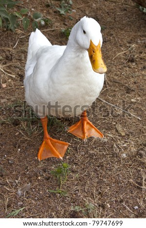 Domestic White Duck on the Ground