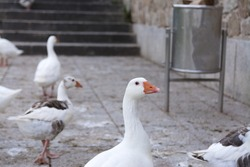 Domestic white geese by the riverbank. Waiting for bread. Bird series.