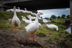 Domestic white geese (ducks) walk on the sand near the lake. Flocks of white domestic geese walk along the shore drink water and wash