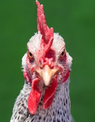 Domestic white hen with red comb at farm. Close up of head chicken or rooster on green background.