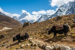Domestic Yaks walking in the nature with beautiful view of Mt.Ama Dablam in the background. Yaks transport goods across mountain passes for local farmers and traders as well as for climbing tour.