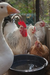 Domesticated chickens and geese drink water from a bucket on a small farm.