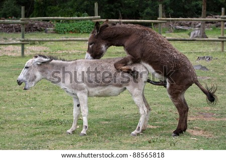 Domesticated donkeys mating on a farm yard - stock photo